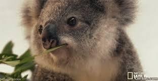 Koala Meme - funny gif koala viral viral videos