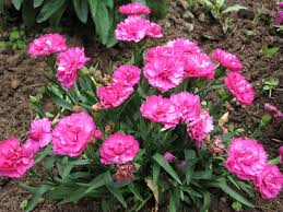 dianthus flower dianthus plants how to grow and care for carnations pinks and
