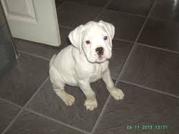 boxer dog price whit boxer puppy for sale hull east riding of yorkshire