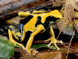 poison dart frog pictures national geographic