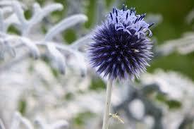 free photo plant ornamental thistle free image on pixabay