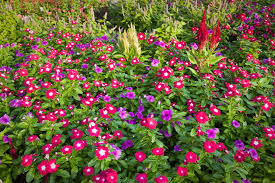 annual vinca flowers the madagascar periwinkle