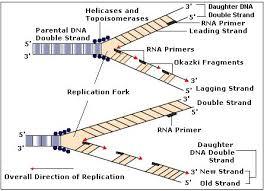 does dna replication in 5 u0027 to 3 u0027 leading strand need rna primase