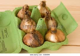 daffodil bulbs stock photos u0026 daffodil bulbs stock images alamy
