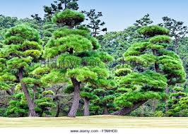 japanese pine tree foliage stock photos japanese pine tree