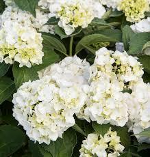 white hydrangea white bigleaf hydrangea monrovia white bigleaf hydrangea