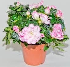 fresh indoor flowering plants low light 21102