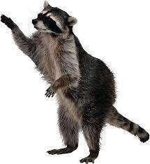 Meme Generator Raccoon - pin by on pinterest raccoons and animal