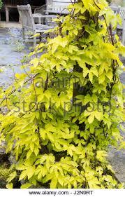 humulus lupulus aureus golden hop leaves stock photo royalty