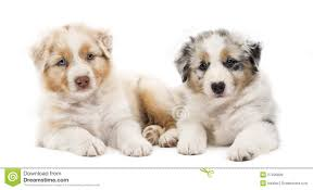australian shepherd 2 months 71 most cute australian shepherd puppies pictures and photos