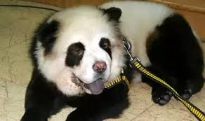 Pet Can I Have A Panda As A Pet In My House Quora