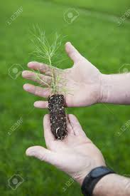 pine sapling stock photos royalty free pine sapling images and