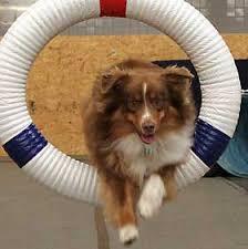 australian shepherd training tips dog agility training