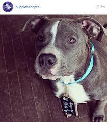 american pitbull terrier qualities how social media affects pit bulls u2014 my pit bull friend
