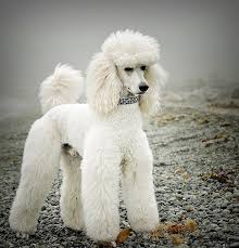 different styles of hair cuts for poodles poodles with better hairstyles than you