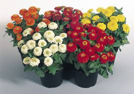 zinnia flower zinnia zinnita mix zinnia flower seeds shop online india