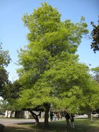 Swamp Spanish oak