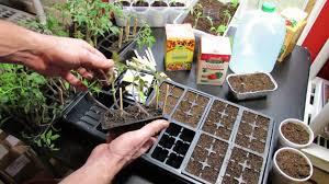 starting vegetable seeds indoors planting watering feeding