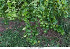 lime green foliage stock photos lime green foliage stock images