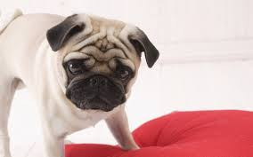 Dog Wallpapers Cute Lovely Dog Wallpapers Hd Wallpapers