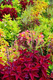 How To Grow Coleus Plants by How To Grow Coleus Plants Garden Harvest Supply
