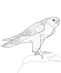 bird coloring pages peregrine falcon animal coloring pages