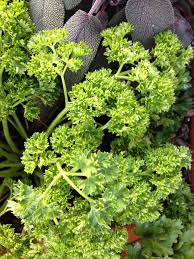 winter herbs hgtv