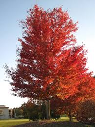 acer saccharinum silver maple tree fall colors newar u2026 flickr