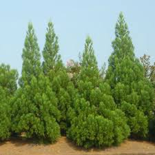 Gardening Zones Canada - superior evergreen trees u0026 landscaping evergreens fast growing trees