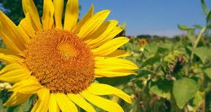 sunflower wallpapers sunflower android central