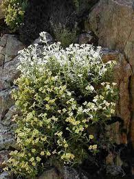 diplacus calycinus rock monkey flower