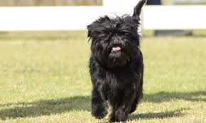 affenpinscher and chihuahua affenpinscher grooming bathing and care espree animal products