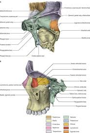 Parts Of Ethmoid Bone Face And Scalp Clinical Gate