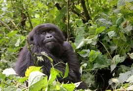 Gorilla Mountain Gorilla Ecotourism A Tale Of Two Countries The Extremo