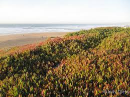 plants native to southern california ice plants not so cool beach treasures and treasure beaches