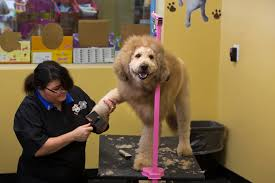 labradoodle hairstyles charles the lion dog gets his haircut in norfolk youtube