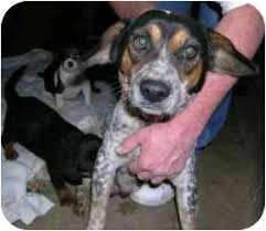 bluetick coonhound breeders indiana maude adopted dog 286 elwood il beagle bluetick coonhound mix