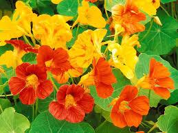 Edible Flowers Eating Edible Flowers