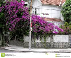 purple flowering tree royalty free stock images image 694099