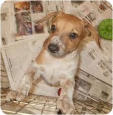 bluetick coonhound mix puppies ellie in maine adopted puppy freeport me beagle redtick