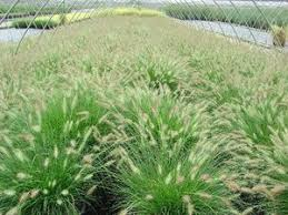 mass planting ornamental grasses search saul