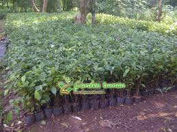 Teh Tehan jual pohon teh tehan siap tanam untuk pagar jual tanaman hias