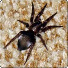spiders of oregon what u0027s lurking in your home or garden