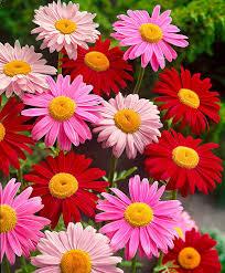buy hardy perennials now coloured daisy mix bakker com