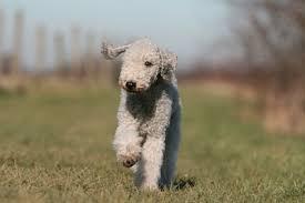 bedlington terrier guide country life u0027s favourite dogs bedlington terrier country life