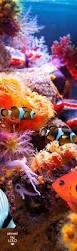 natal tree worm o worm natal árvore spirobranchus giganteus é um