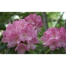 Pink Spring Flowering Shrubs - rhododendron shrubs trees u0026 bushes the home depot
