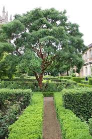 15 best acer images on pinterest garden trees acer palmatum and