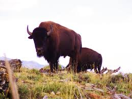 plants native to utah isolated utah bison herd new stronghold for conservation of iconic