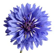 cornflower blue wholesale blue cornflower for weddings